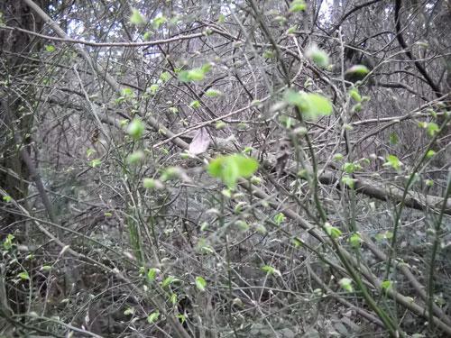 2013-3-17_new-growth-huckleberrybush