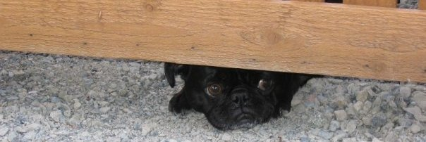 """Third to arrive, after Sinbad and Jacob, but the """"most important pug in the world."""""""