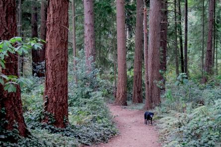 Trail through Douglas Firs.