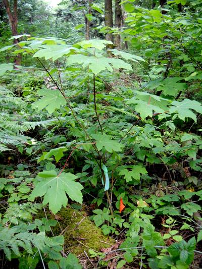 Big-Leaf-Maple-1-2013-6-16