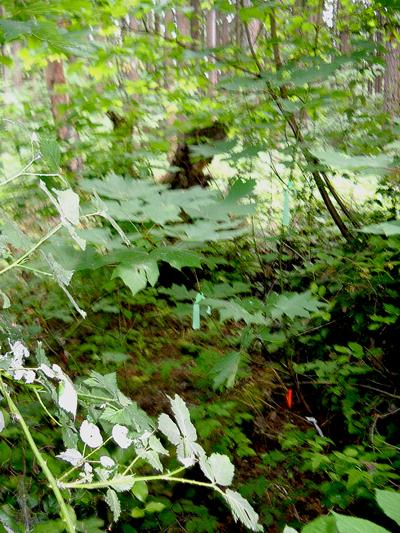 Big-Leaf-Maple-2-2013-6-16