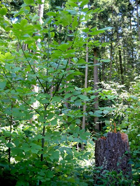 Oregon-Ash-3-2013-6-16