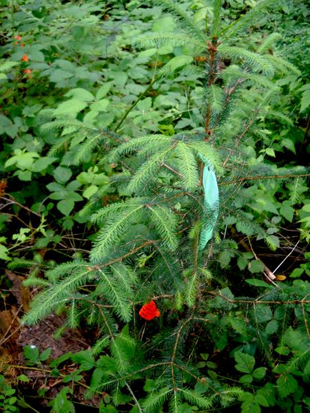 Sitka-Spruce-1-2013-6-16